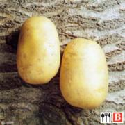 Семенной картофель. Сорт Агаве!