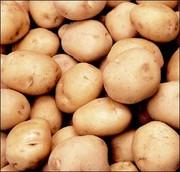 Семенной картофель продажа в Украине,  семенной картофель купить цена