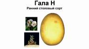 Товарный и семенной картофель Гала