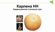 Карлена-качественный сорт картофеля