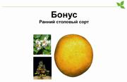 Семенной картофель Бонус