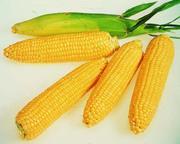 Продам семена сахарной кукурузы Брусница.