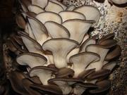 В Херсон продам мицелий грибов вешенка