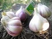 продам чеснок,  посадочный материал чеснока (воздушные семена)