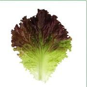 Семена салата KS 155 (Китано)