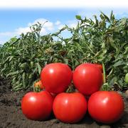 Семена томата KS 829 F1 фирмы Китано