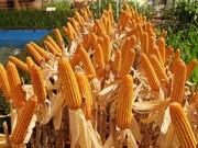 Оржица 237 МВ гибрид кукурузы семена