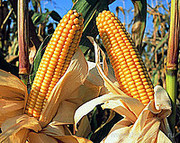 Даниил урожая 16г. гибрид кукурузы семена