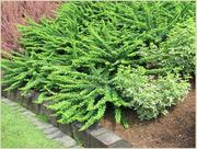 Барбарис Green Carpet